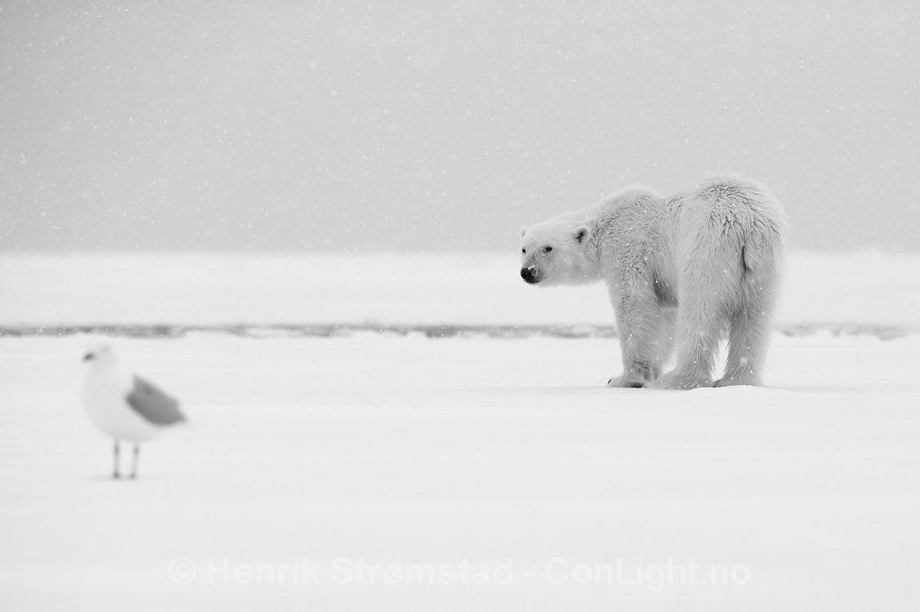 Polar Bear, Raudefjorden, Svalbard 004