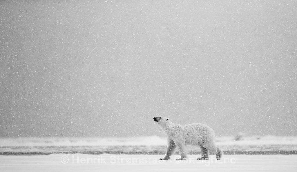 Polar Bear, Raudefjorden, Svalbard 005